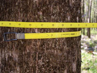 Timber measurement by tape